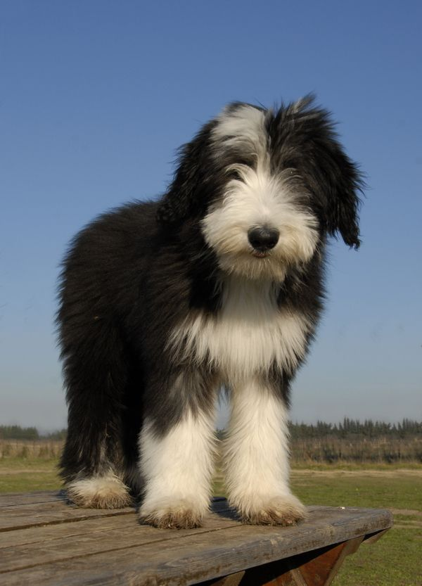 Bearded Collies For Sale Previous Next Bearded Collie Breed