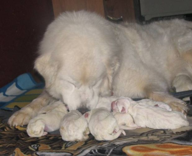 Great Pyrenees Puppies Great Pyrenees Puppies For Sale In