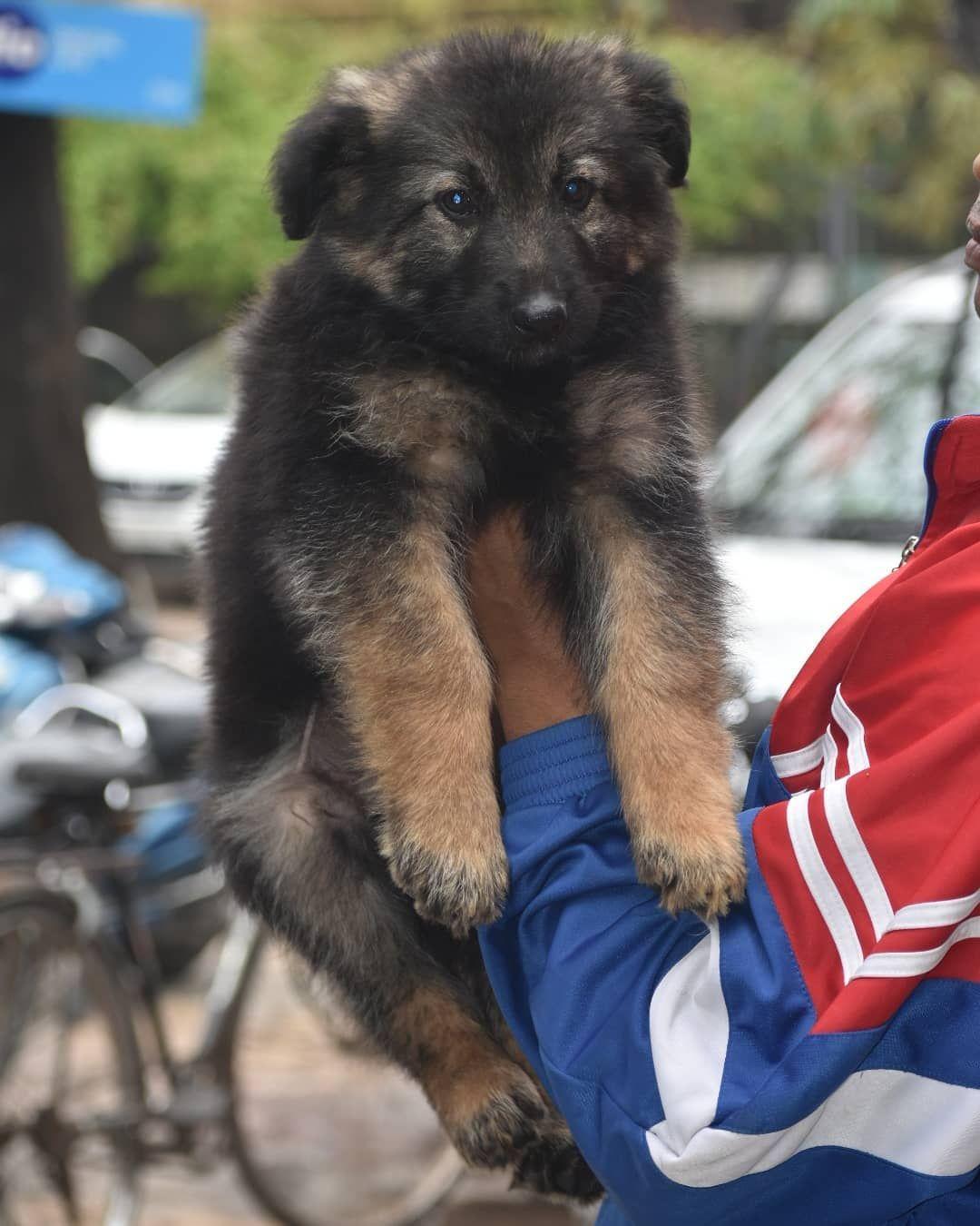 We offer German Shepherd puppies, adult German Shepherd
