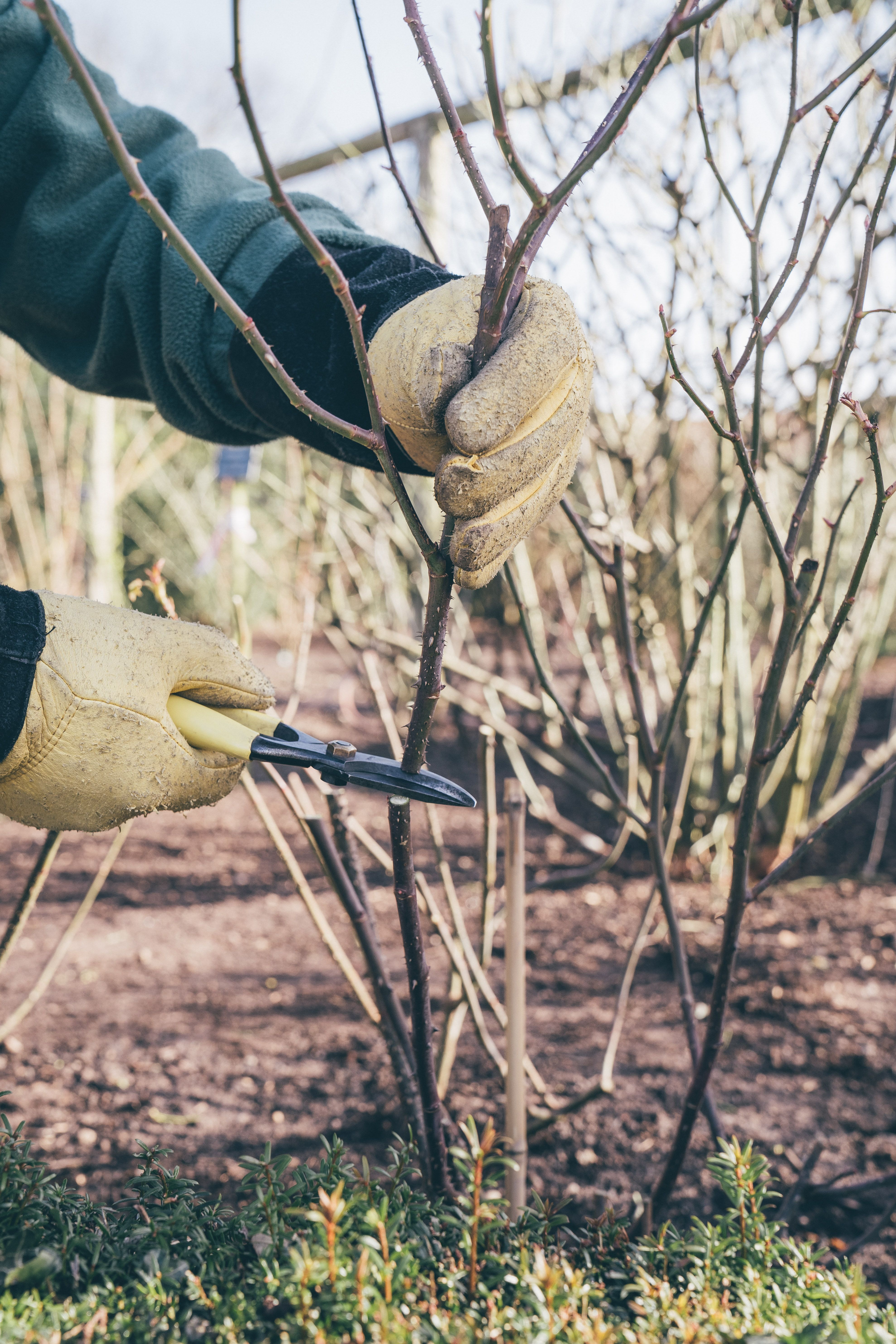 15 Most Effective Tips How To Prune Roses The Gardening Dad Pruning Roses Trim Rose Bushes Rose Trees