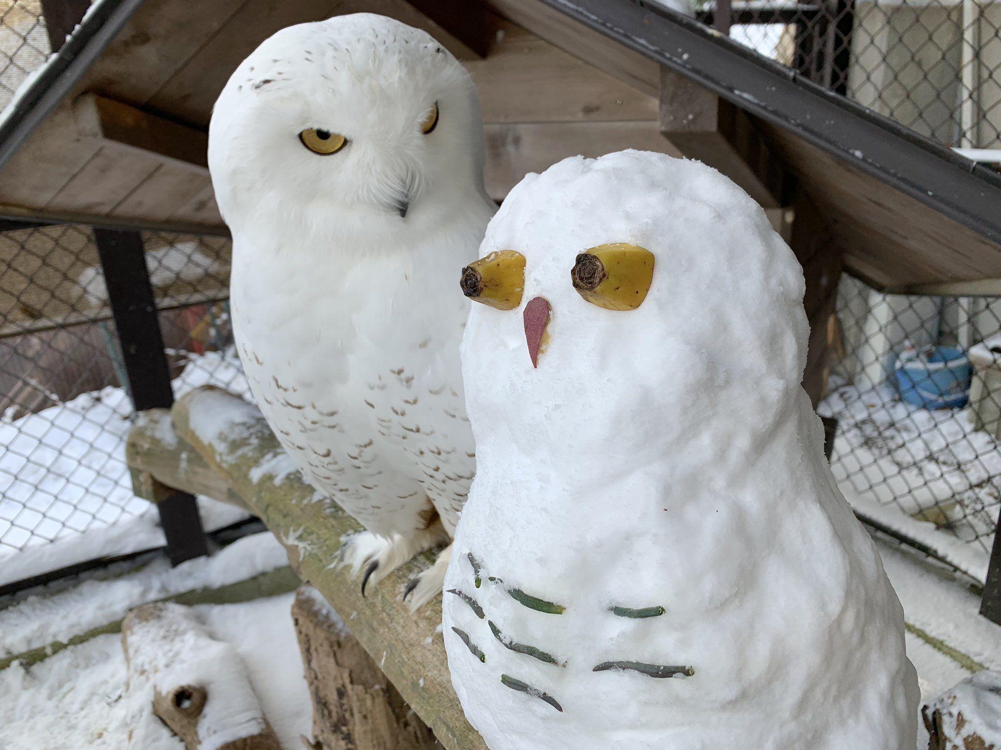 ausmalbilder schneeeule  aiquruguay