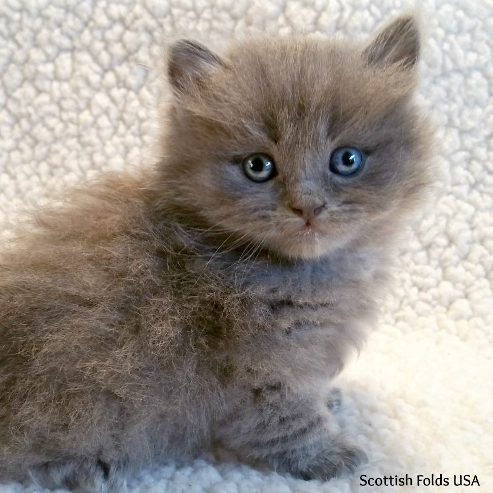 Non Standard Scottish Kilt (Scottish Fold Munchkin