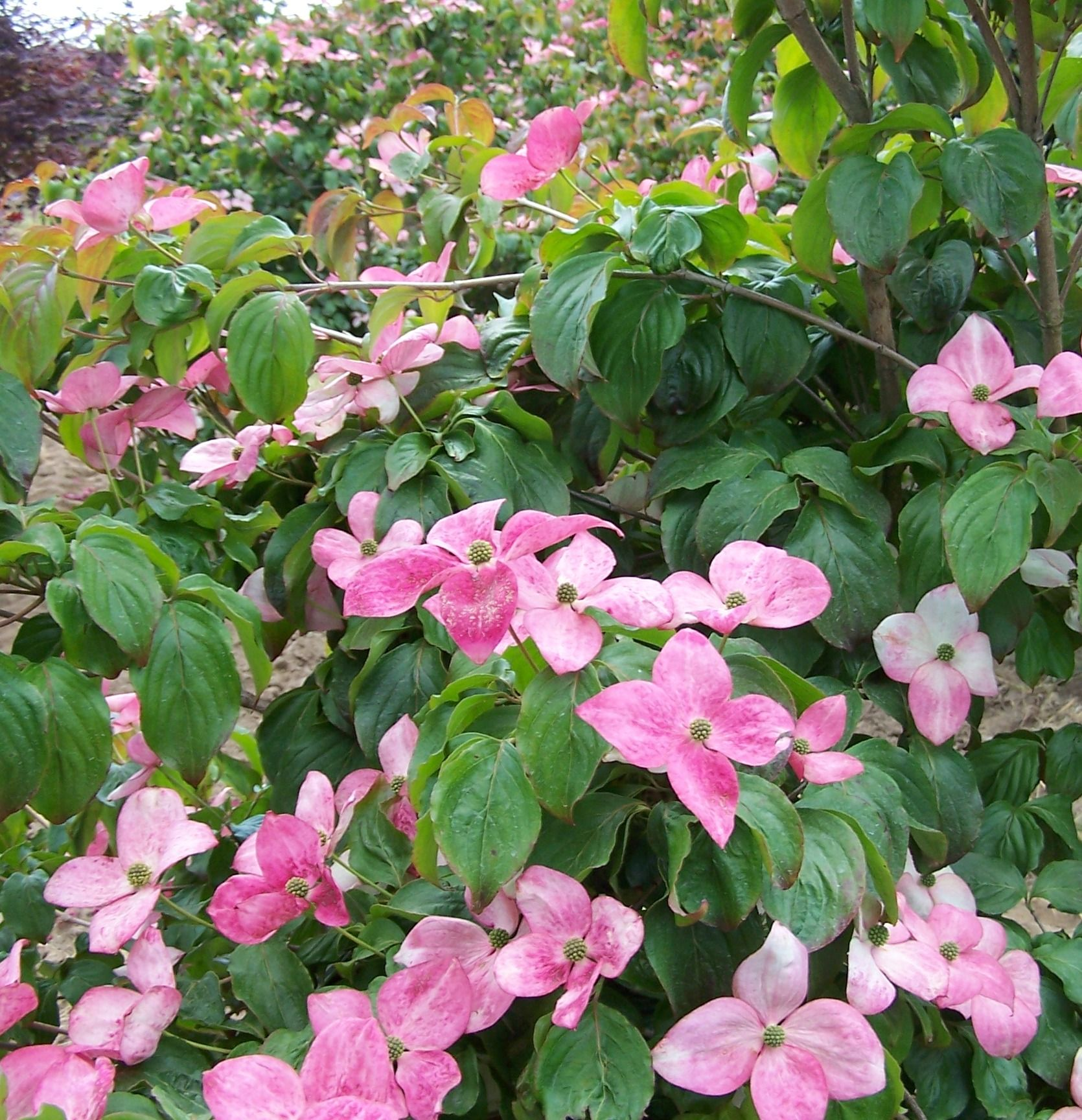 Pink Dogwood Tree Satomi Chinese Dogwood Cornus Kousa Satomi Is A Well Shaped 15 Tree With Dee Pink Flowering Trees Pink Dogwood Tree Flowering Trees