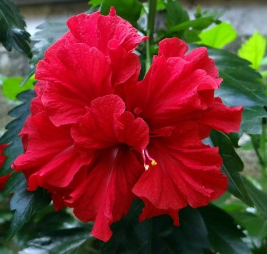 Red Hibiscus Flowers Pictures Varieties And Uses Hibiscus Plant Hibiscus Flowers Hibiscus Rosa Sinensis