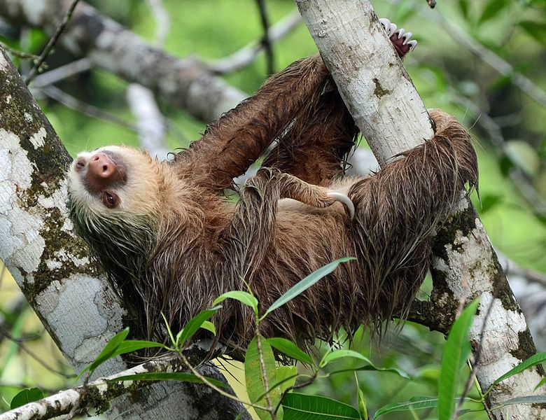 Sloths Cute or Disgusting? Sloth, Two toed sloth