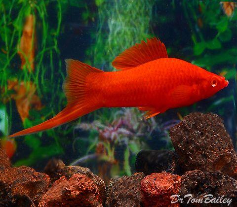 Red Eyed Red Swordtail Velvet Type Often Red Eyes You Find In Aquarium Shops Are Stunted And Wea Aquarium Fish Fresh Water Fish Tank Tropical Fish Aquarium