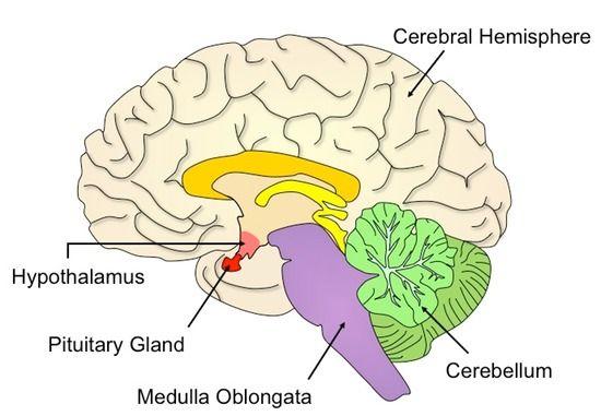 hypothalamus diagram - Google Search | SI neurosciences ...