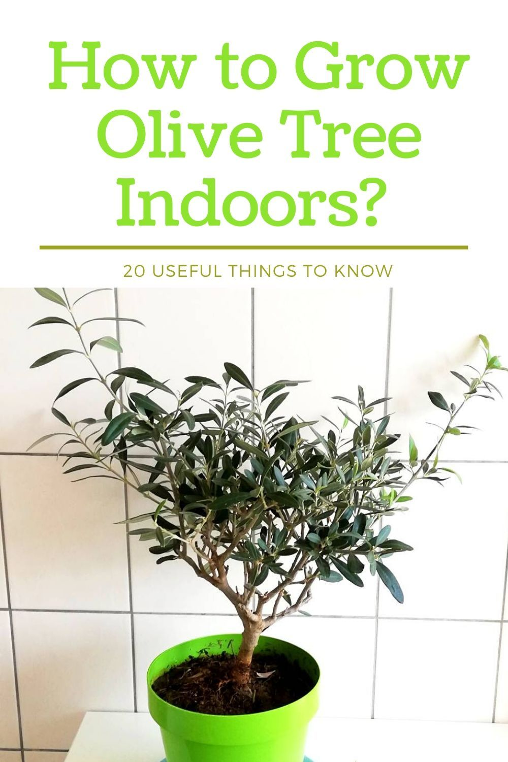 How to grow olive tree indoors? in 2020 Growing olive