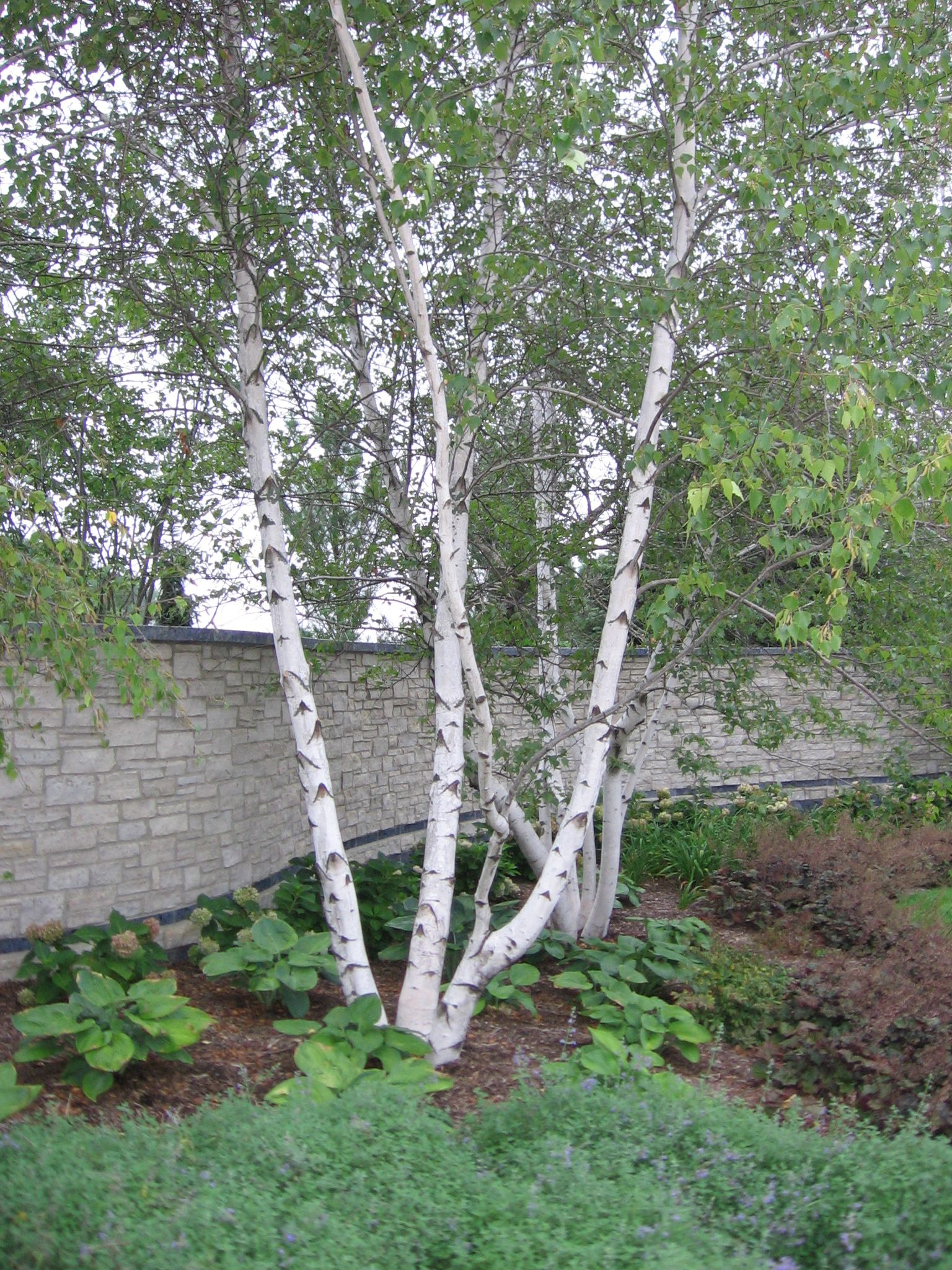 Birch - Whitespire, beautiful white bark, great full ...