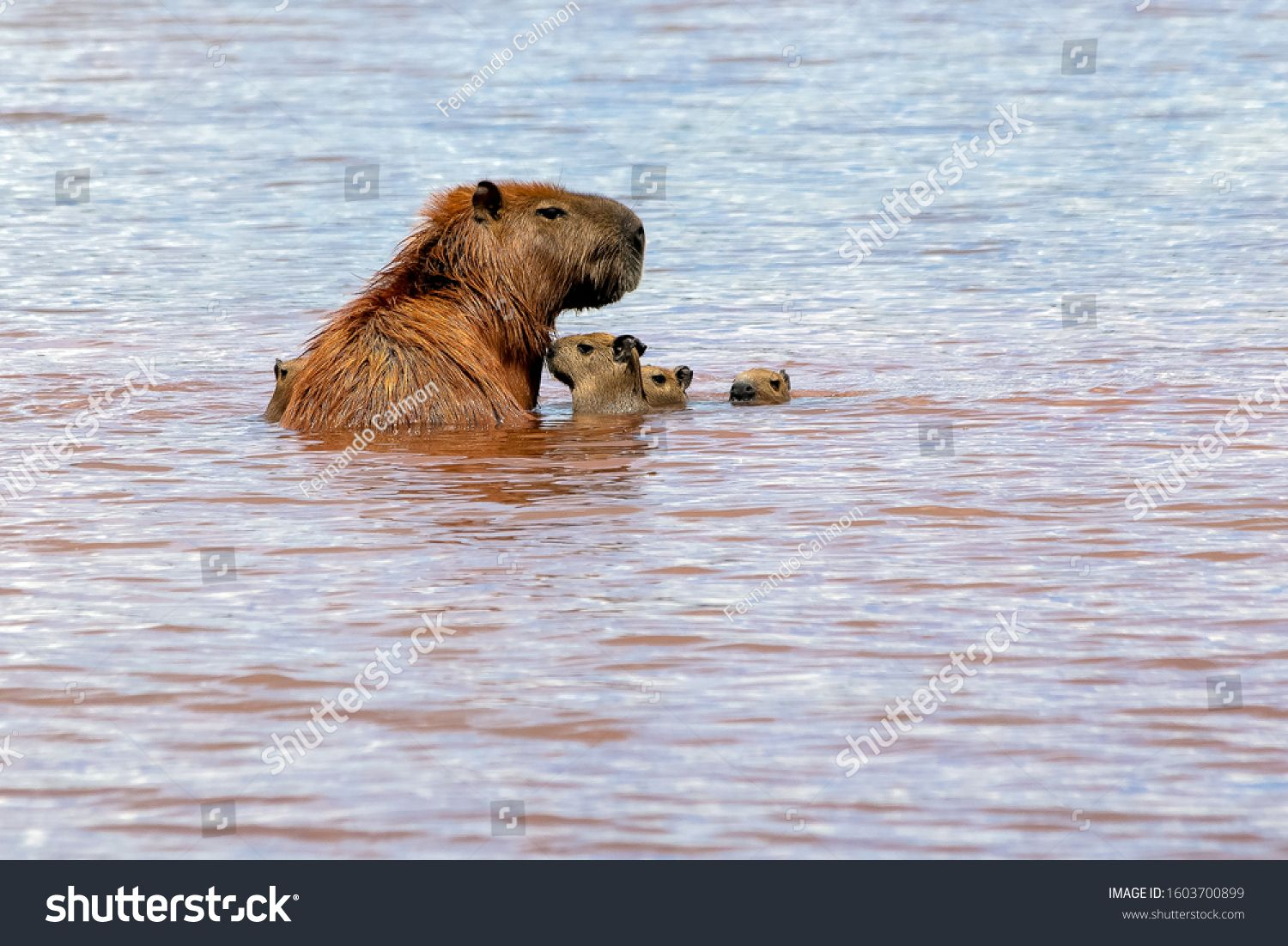 The sunbathing of the mother capybara and her young at Lake Parano¨¢ in Brasilia, Brazil. The capybara is the largest rodent in the world. Species Hydrochoerus hydrochaeris. Wildlife. Cerrado. #Ad , #ad, #Parano#Lake#Brazil#Brasilia