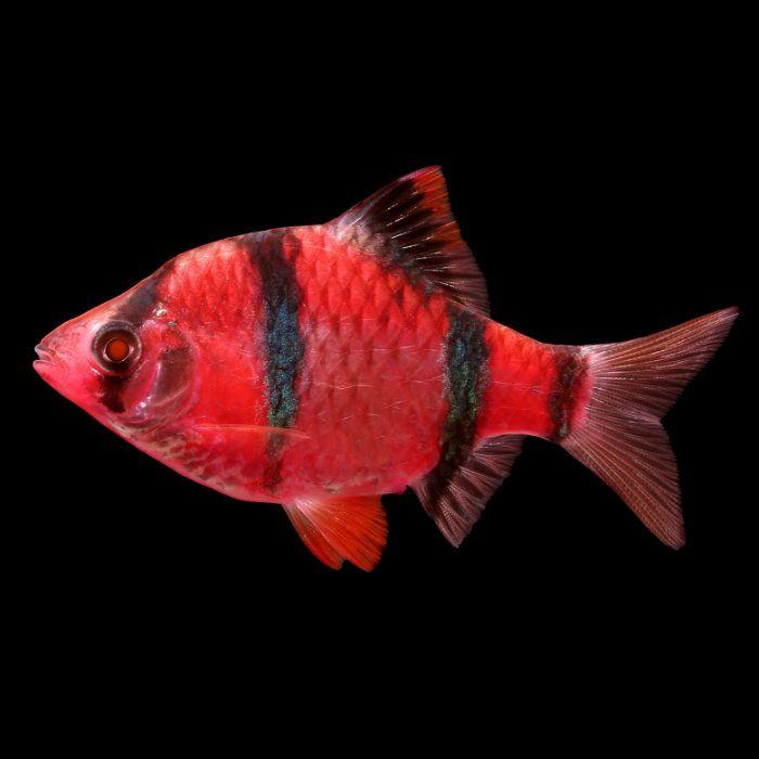 Starfire Red Glofish Barb Puntius Tetrazona Glofish Starfire Community Tanks