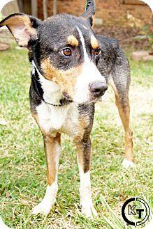 Pictures Of Edgrrr Allan Paw A Entlebucher Bernese Mountain Dog Mix For Adoption In Dallas Tx Who Needs A Entlebucher Mountain Dog Dog Adoption Pets