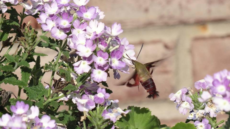 Hummingbird Hawk-moth at my deck plants, Lake Norman, NC