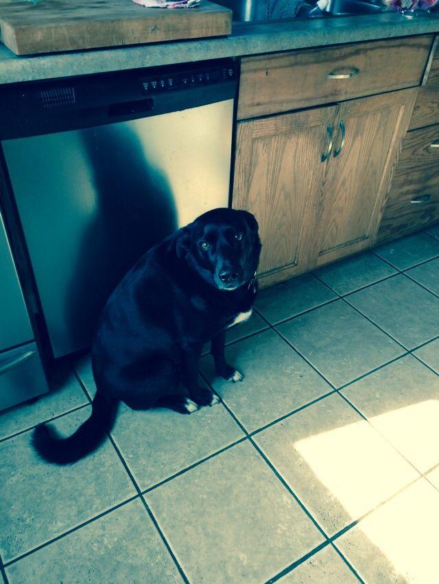 Lost Dog Labrador Retriever London On Canada Losing A Dog Labrador Retriever Losing A Pet