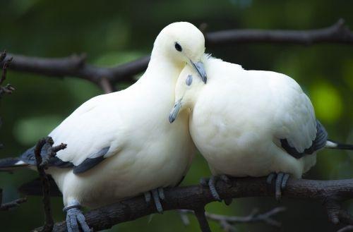 Loving Pigeons Couple Wallpaper Wallpaper Planet Com 542 Pet Birds Animals Wild Animals