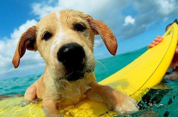beach puppy surfing
