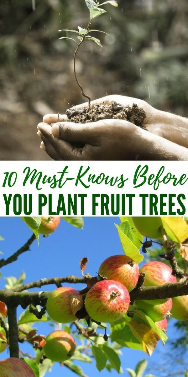 10 Must Knows Before You Plant Fruit Trees Ideally Your Fruit Trees Should Be Planted In An A Fruit Trees Growing Fruit Trees Container Gardening Vegetables
