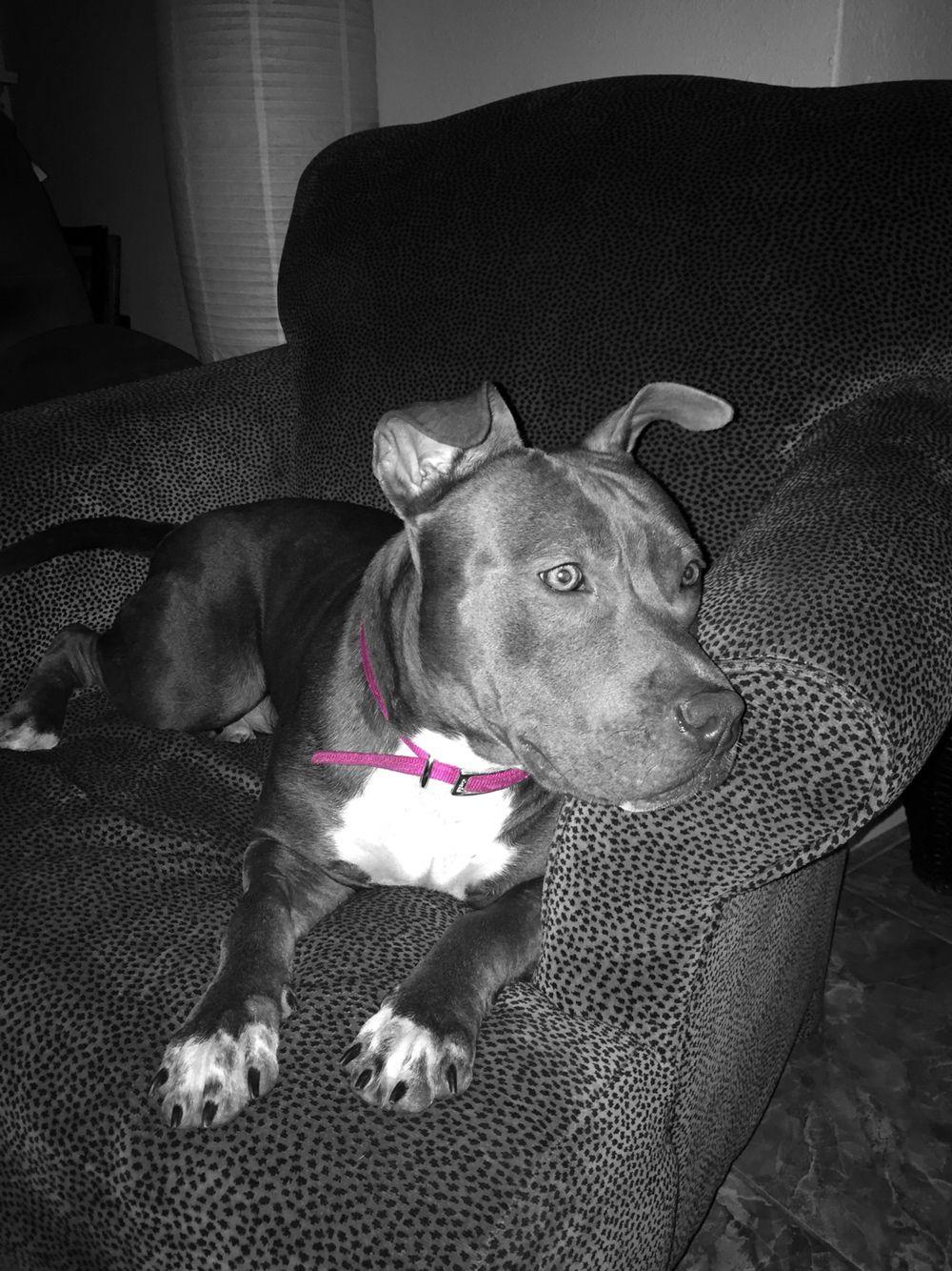 Female Blue Nose Pitbull Pitbulls Blue Nose Pitbull Pitbull Terrier