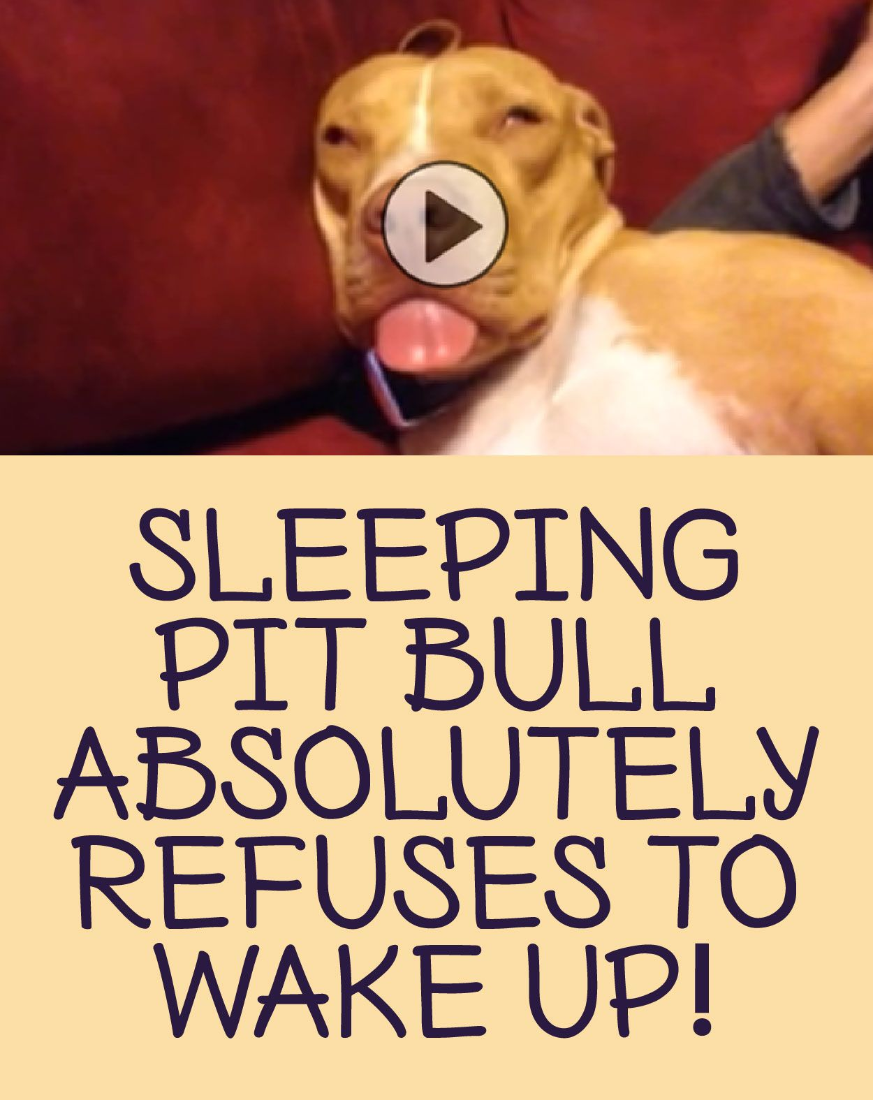 Sleeping Pit Bull absolutely refuses to wake up! :)