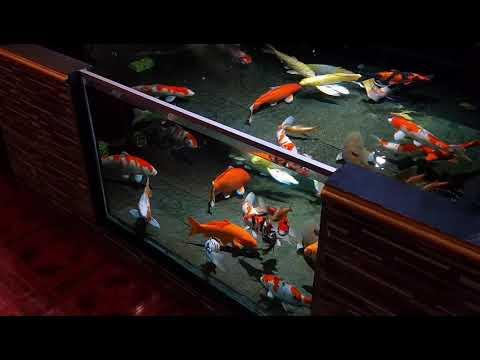 4731 Kolam Ikan Koi Miminalis Kolam Ikan Koi Kaca Kolam Ikan Koi Jernih Youtube Koi Fish Pond Fish Ponds Backyard Pond Design