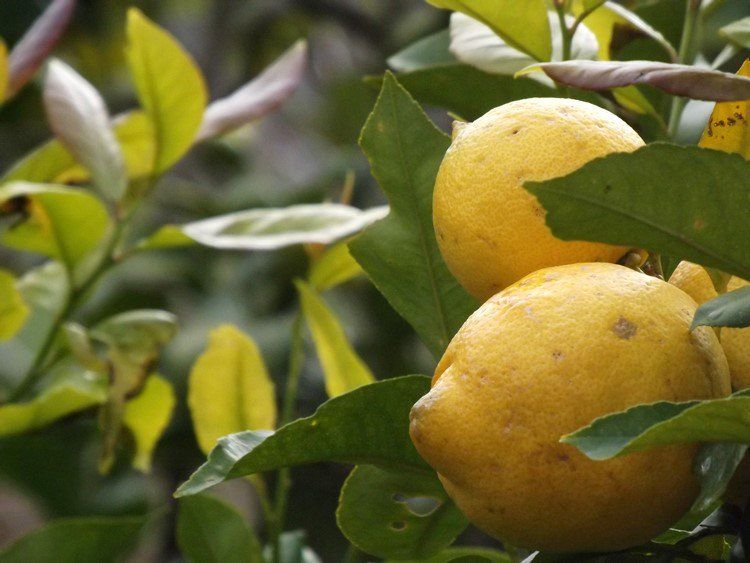 Refrescantes y depurativos limones http://bit.ly/2iKT3nf
