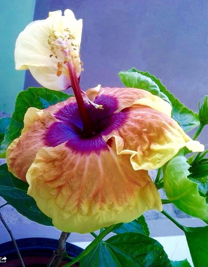 Exotische Pflanzen · Exotic Hibiscus ....If Anybody Knows Name/origin,  Please Contact Me