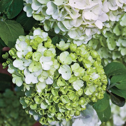 Planting Flowering Shrubs: Elegant Chinese Snowball Viburnum - evergreen in warm climates, blooms in spring to early summer, very large