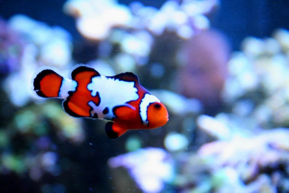 Snowflake Clown By Entwinedphotography On Deviantart Aquarium Fish Tank Clown Fish Marine Fish