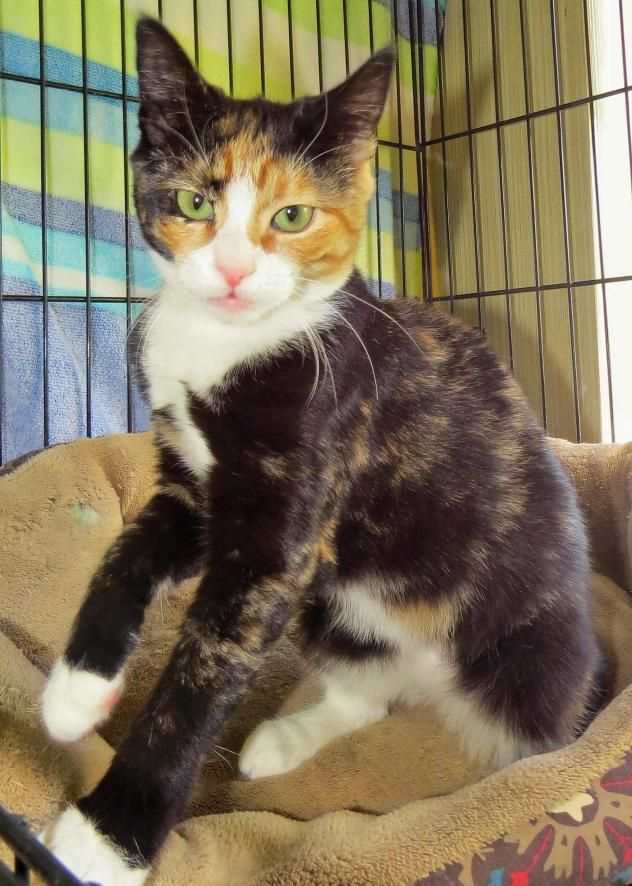 "Adopt 6343 ""Skye"" on (With images) Cat adoption"