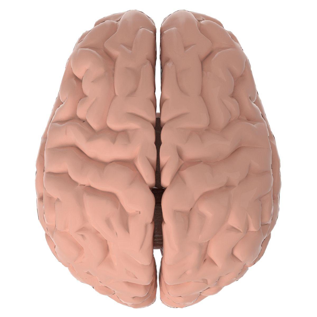 3D Model Anatomy - Human Brain (PBR, UV-unwrapped) | Anatomy ...