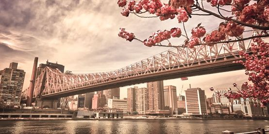 Roosevelt Island Cherry Trees Reaching Out to the Queensboro Bridge, New York City