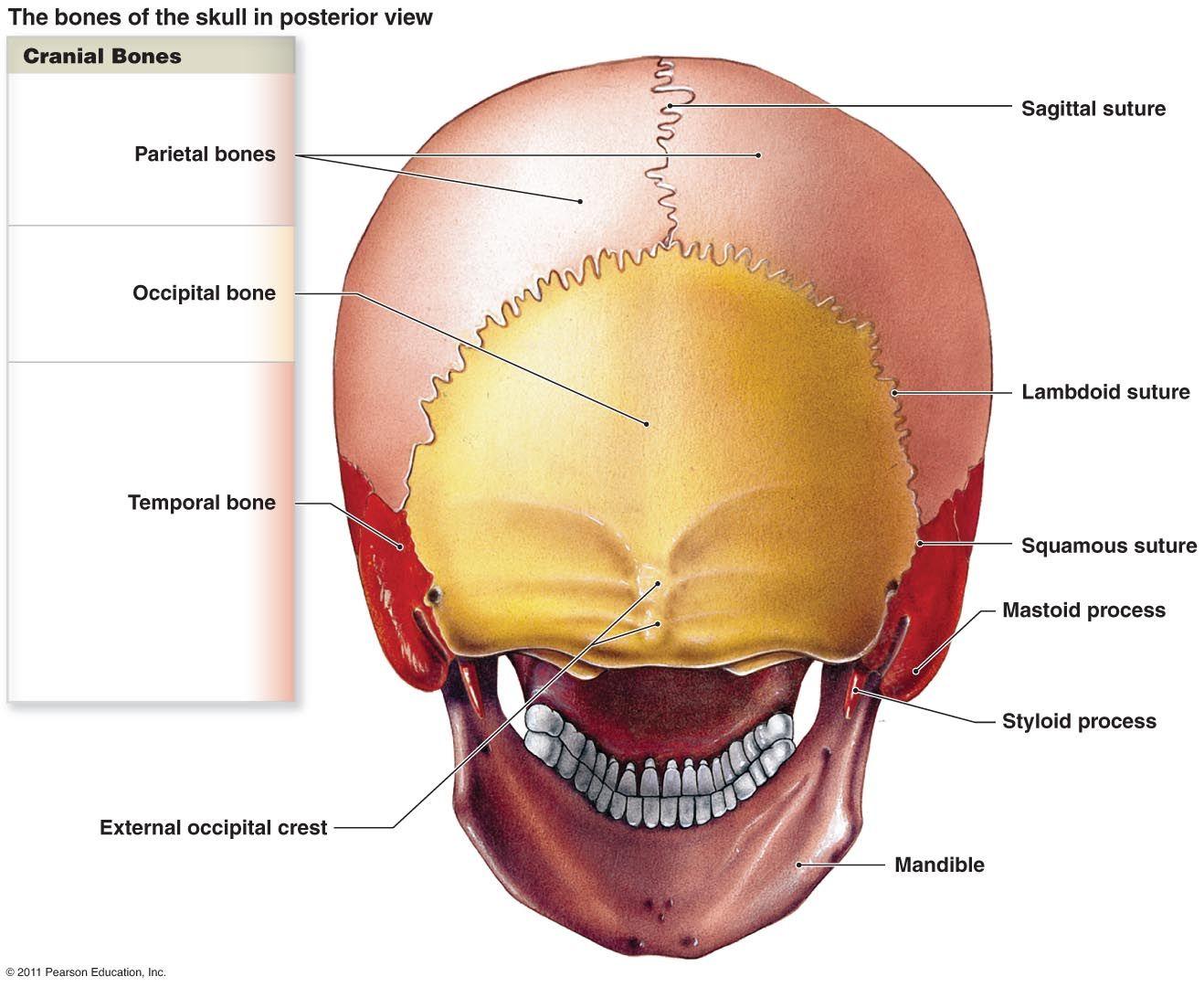 Human Anatomy Pearson Blank Skull The Skeletal System ...