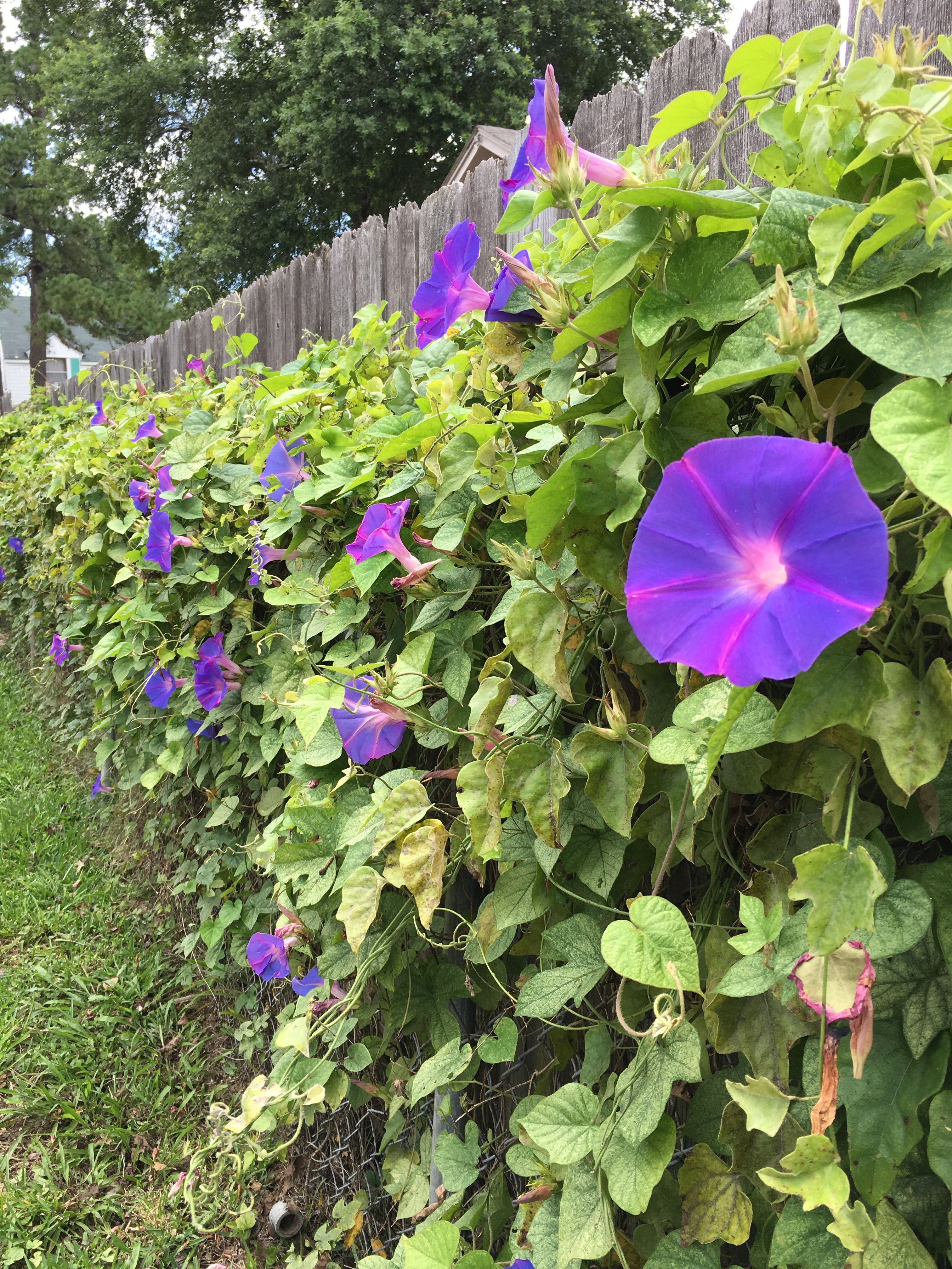 Wild vine purple flowers fence dwellers flower fence