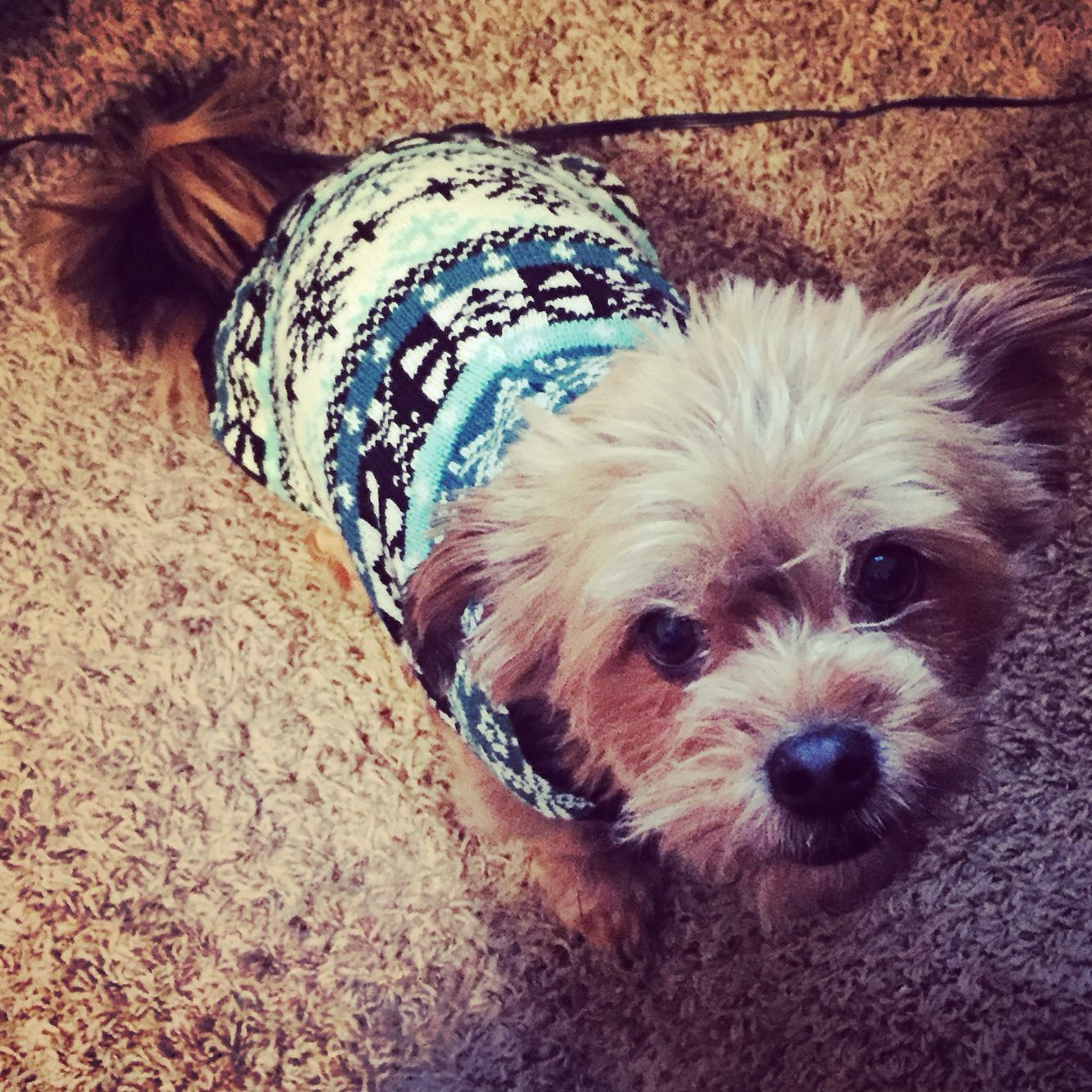 Chewy bear wearing his sweater
