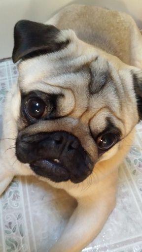 Pug Puppy For Sale In Eau Claire Wi Adn 60733 On Puppyfinder Com