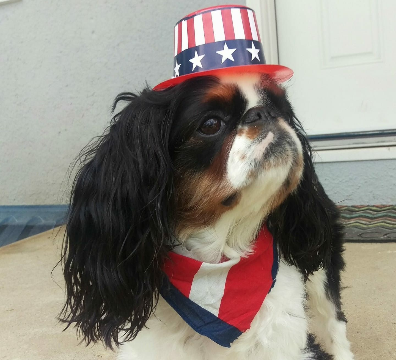 Patriotic Cavalier King Charles Spaniel