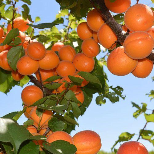 Christmas Tree Farms Victoria: At Rayners Fruit Tree Nursery We Have A Very Large Range