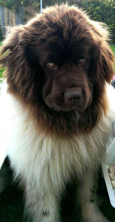 A Landseer Newfoundland So I Saw One Of These Dogs For The