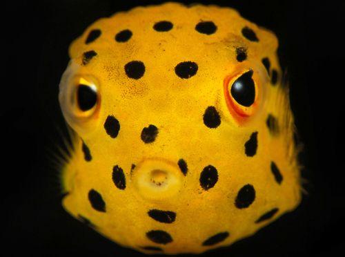 Juvenile Box Fish Beautiful Sea Creatures Ocean Creatures Sea Fish