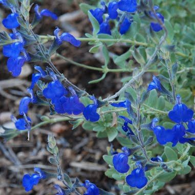 Electric Blue Sage Electric Blue Or Germander Sage Salvia