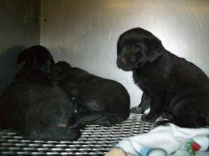 158 Lab Mix Pups Is An Adoptable Black Labrador Retriever Dog In