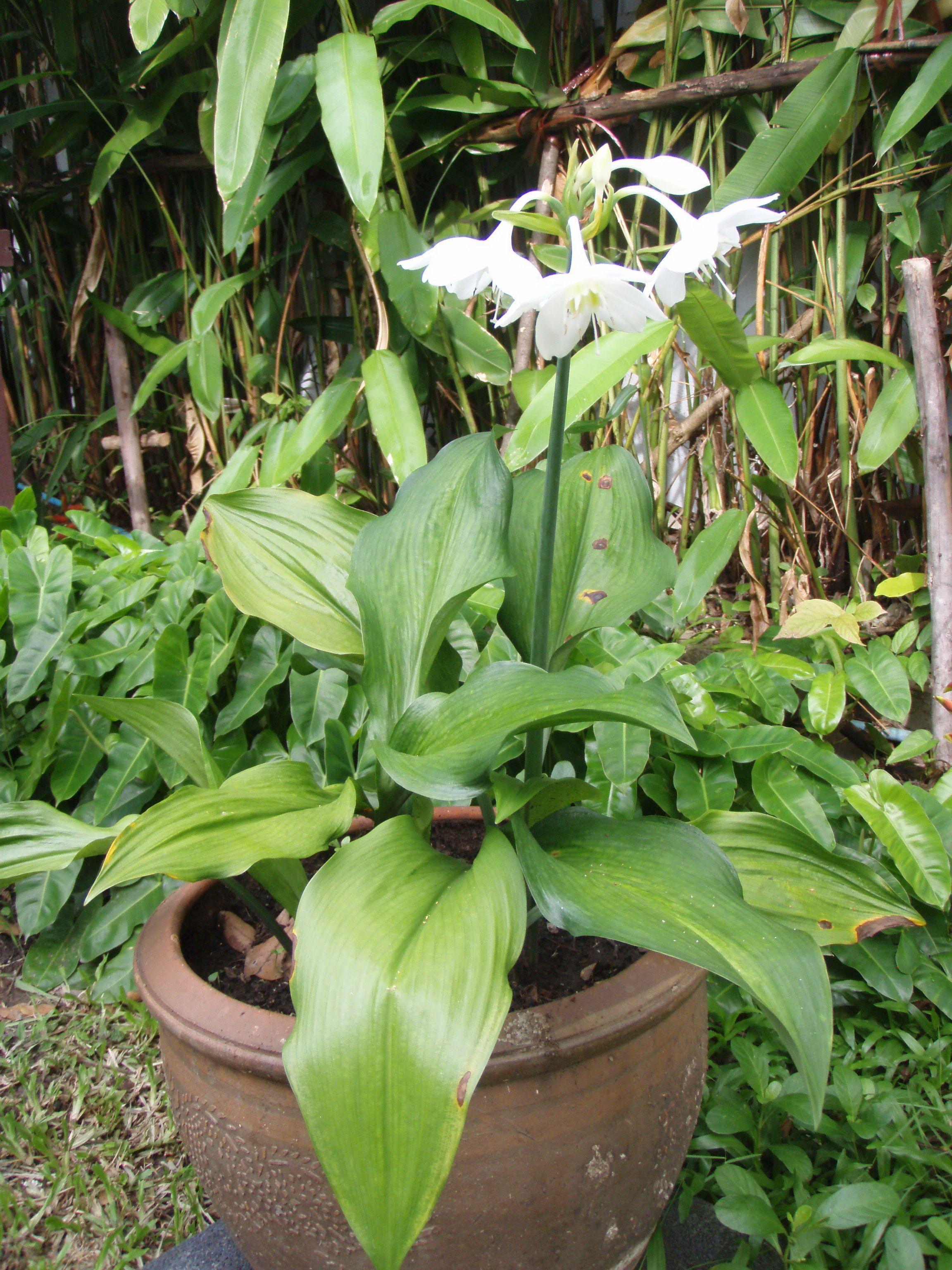 Mahachok Lovely Tropical Bulb Plants In Thailand With Fragrant