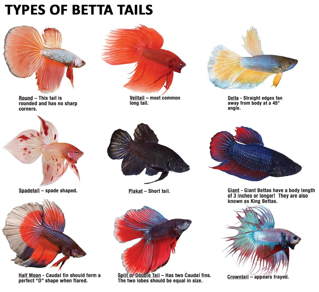 Bettas can have great variety in their tail type betta for What kind of fish can live with a betta