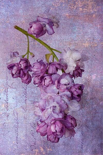 Pin by pilar friche on fleurs pinterest lilacs flower and lavender vintage mightylinksfo