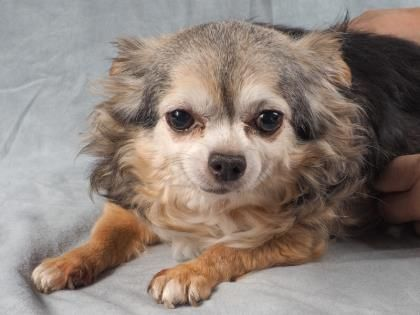 Adopt Muffin A Lovely 4 Years Dog Available For Adoption At Petango Com Muffin Is A Chihuahua Long Coat And Is Available At The Nat With Images Chihuahua Pets Pet Life