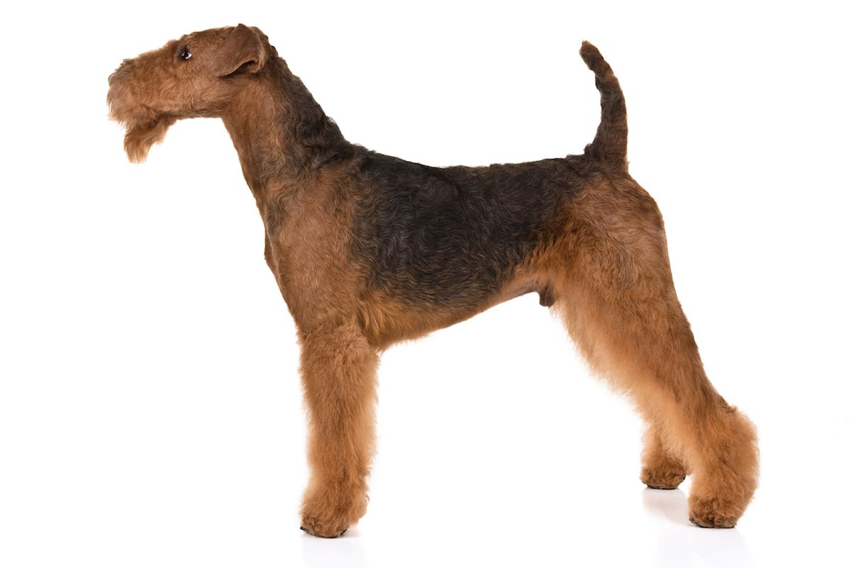 Airedale Terrier Dog Breed Information Terrier Dog Breeds