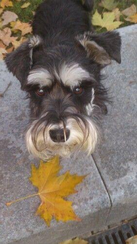 Pin By Jeanne Brooks On Schnauzers Dogs And Puppies Mini Schnauzer Animal Photo
