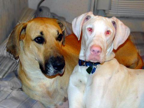 Albino Great Dane Harlequin X Harlequin Great Dane Great Dane