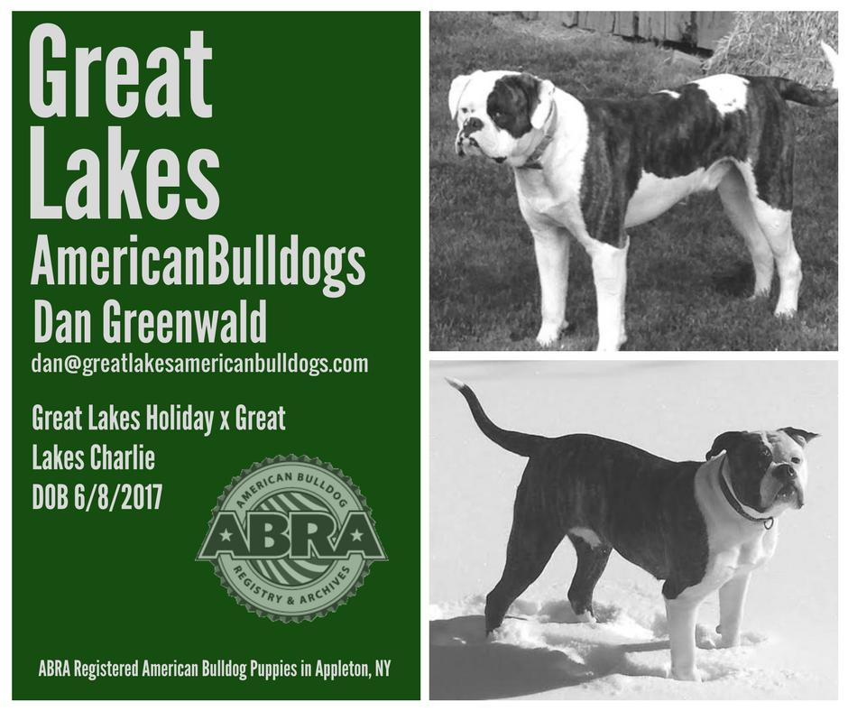 American Bulldog Puppies For Sale Abra American Bulldog Registry Archives Bulldog Puppies American Bulldog Puppies American Bulldog