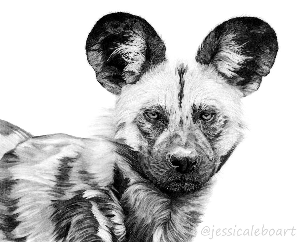 African wild dog graphite pencil drawing